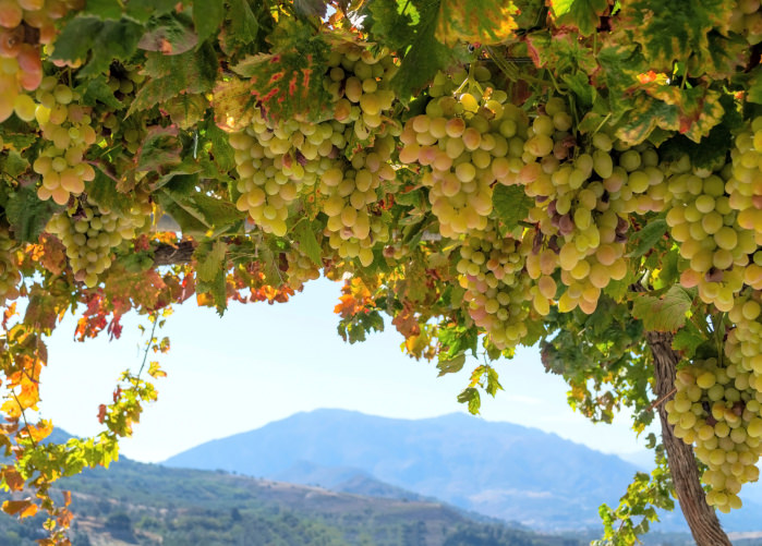 Fresh grapes in a bush