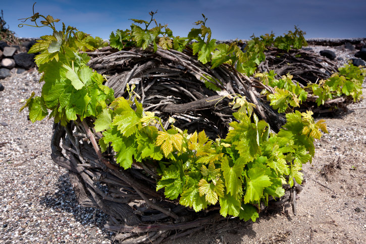 Santorini's vineyard