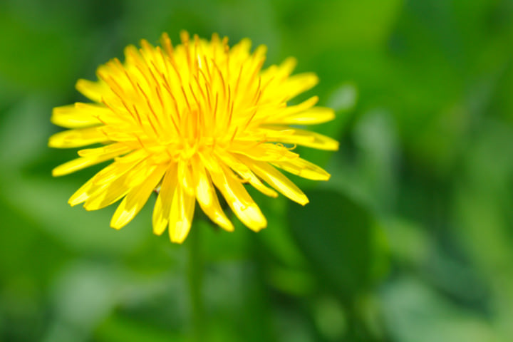 Close up of dandelion, differential focus