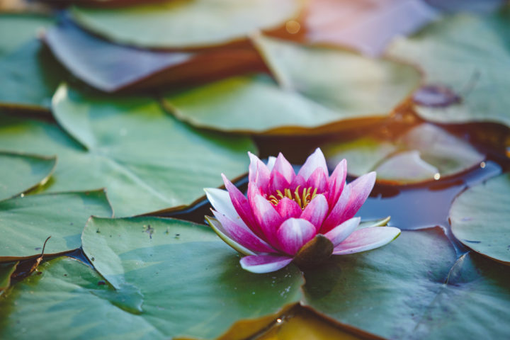 Lotus-Eaters – Unique People of Greek Mythology